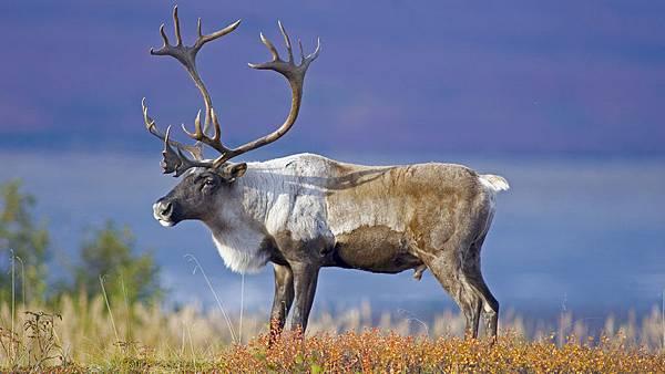 caribou-standing-grass.jpg
