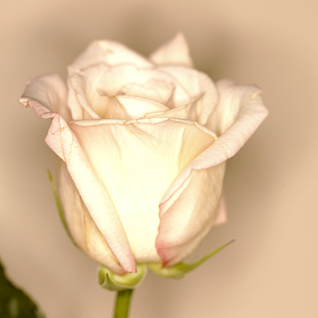 幸福粉玫瑰