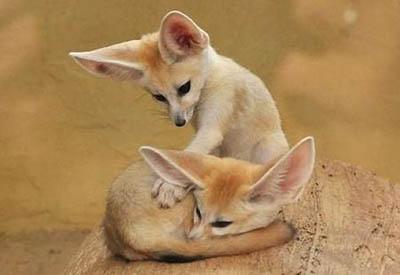 耳廓狐1.jpg