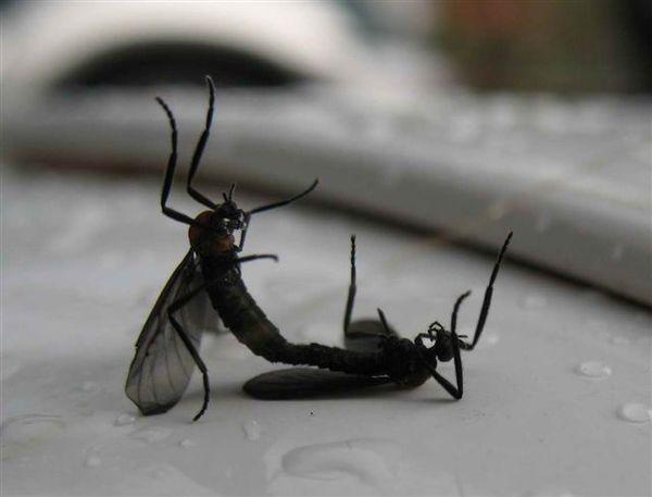 20071208_ 情人湖公園-交歡的昆蟲.jpg
