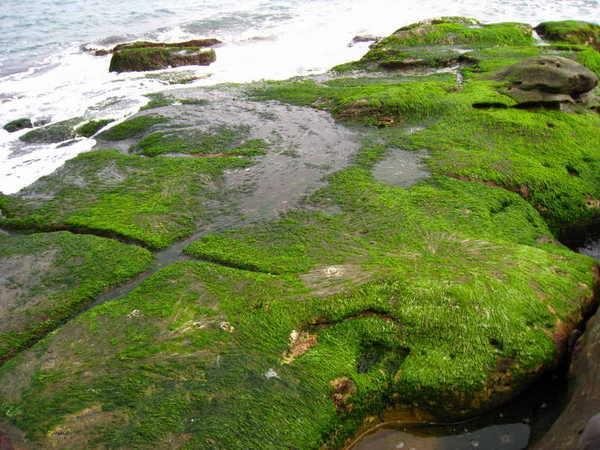 靠海邊的岩石上都是綠藻及青苔,很滑呢,容易跌屁股