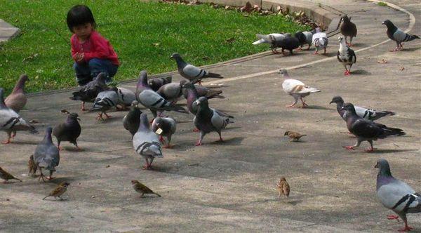 公園裡的鴿子, 原來有那麼多