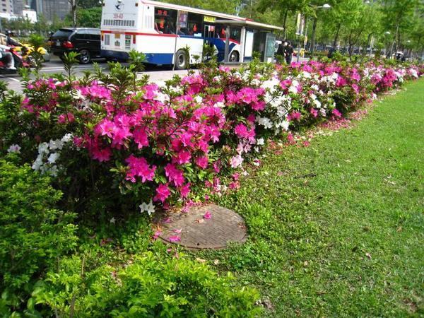 一整排的杜鵑花