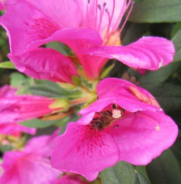 蜜蜂忙碌著