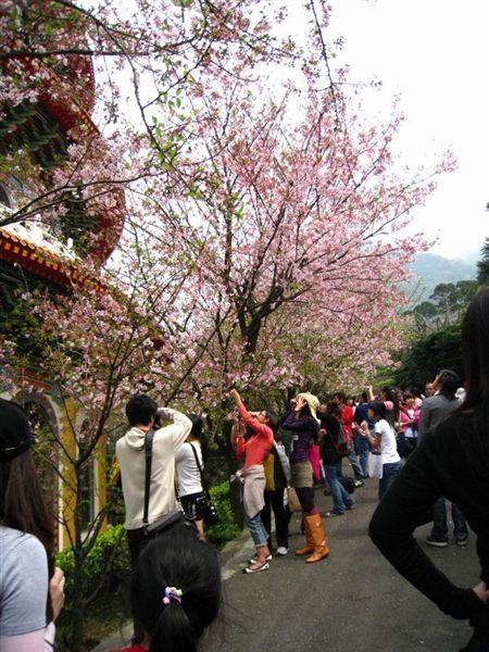 櫻花林雖然只有繞著天元宮一圈, 但還是很美