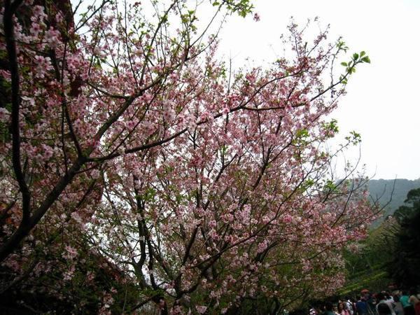 櫻花其實開始謝了