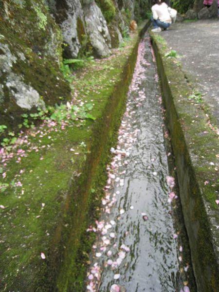 水溝裡的櫻花瓣