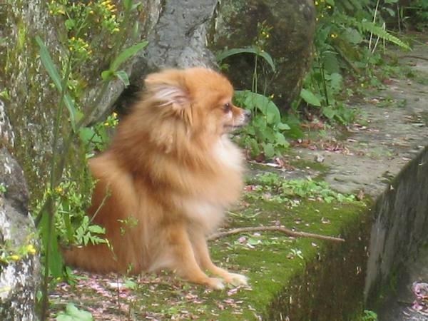 有人把櫻花放在狗狗頭上照相, 這隻狗相當乖及優雅