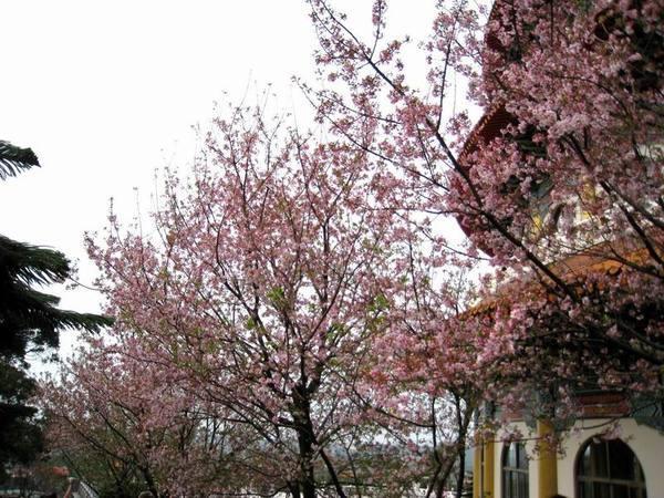 天元宮及櫻花