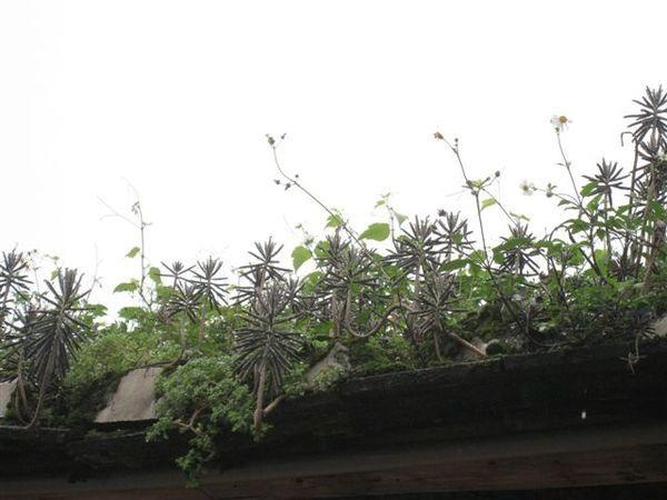 20080413_ 屋頂上的植物很特別