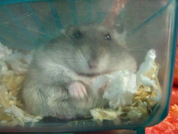 20080309_癡肥的老鼠