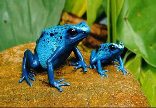藍色毒標蛙.jpg