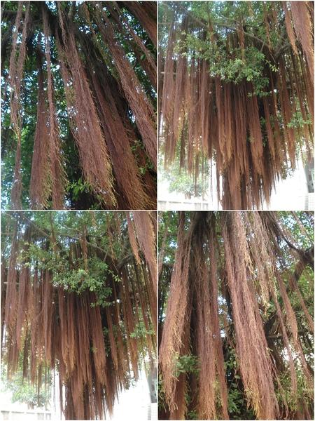 榕樹氣根.jpg