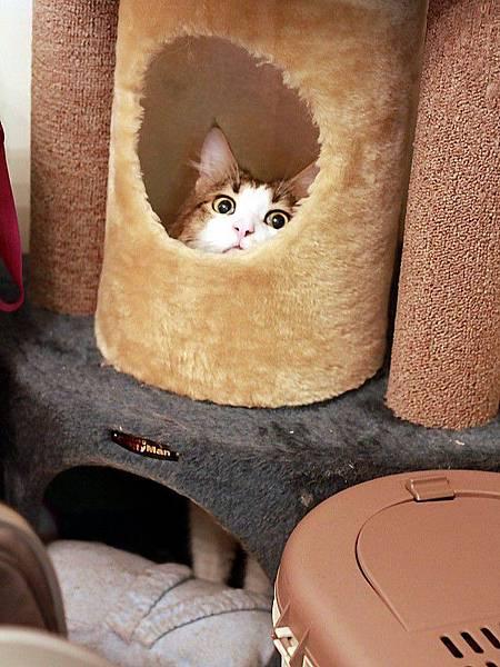 110226 睡覺的戴蒙貓~吃魚的戴蒙貓~貓樹裡的戴蒙貓 021.jpg