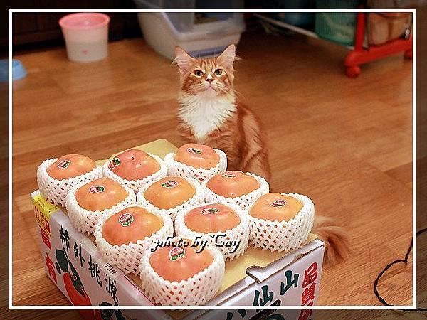 PhotoCap_111108 孟臻家的甜柿 011.jpg