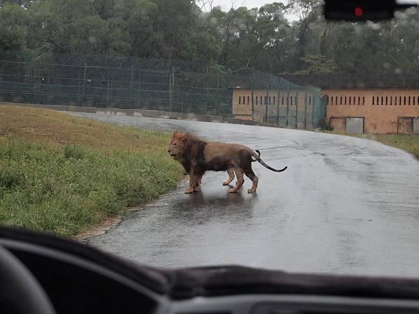 獅子就在車子前面走來晃去