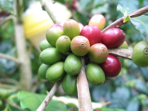 9990101 黃綠紅咖啡一串串.jpg