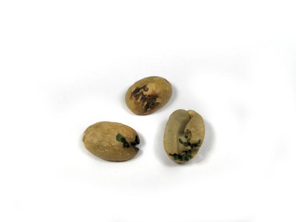 6-1-1嚴重蟲蛀豆IMG_0047.jpg