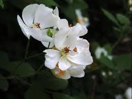 「荼蘼花」的圖片搜尋結果