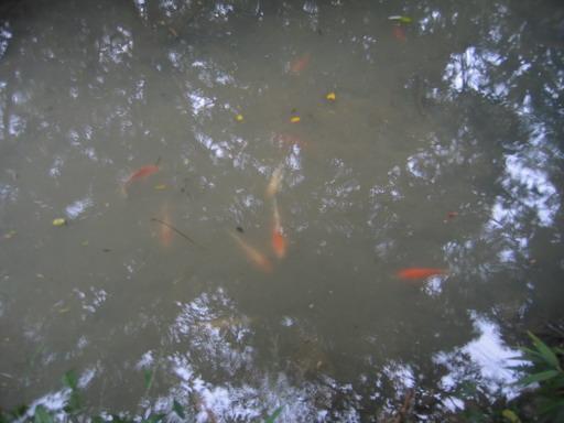 另一湖死水中,竟然有一堆錦鯉