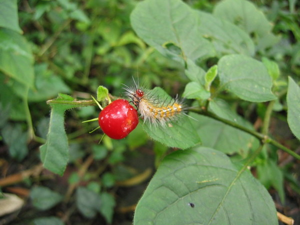 毛毛蟲在吃紅果子?