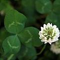 小白花三葉草