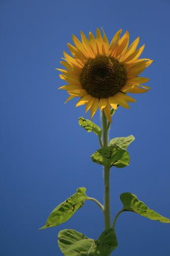 這天看到的唯一一朵比較「健康」的向日葵