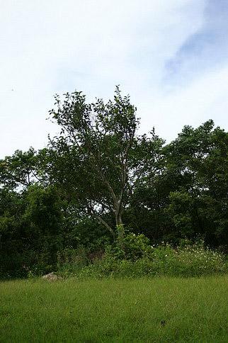 這可是有兩百年歷史的茶樹