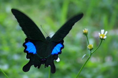 看到很多這種蝴蝶