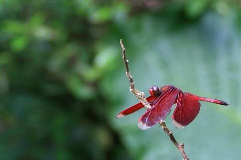 I看哪、看哪、紅色蜻蜓...
