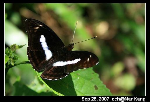 這是蝶還是蛾啊?