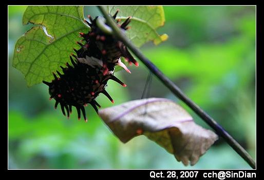 黃裳鳳蝶跟蛹