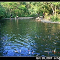 養很多鯉魚的大水塘