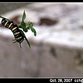 大白斑蝶幼蟲