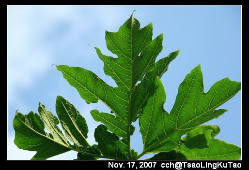 藍天下的木瓜葉