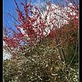 山櫻花+笑靨花