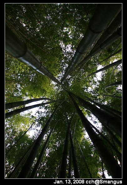 高聳的竹子