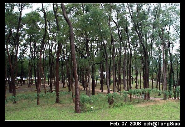 整片樟樹林