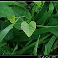 愛心形狀葉子