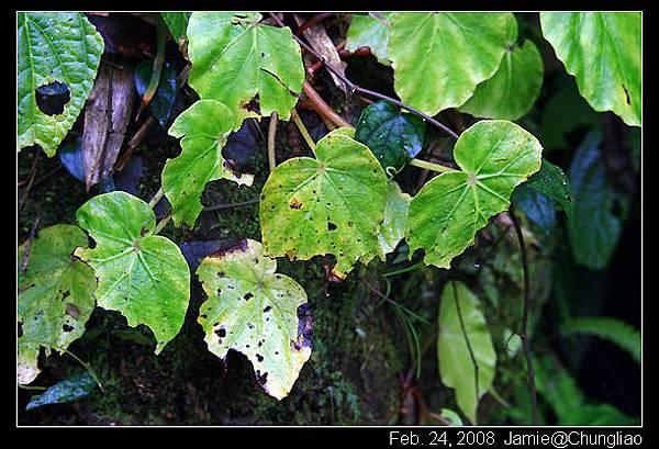 秋海棠的一種 (感謝玉山懸鉤子^+++^)