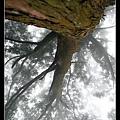 背靠著百年肖楠巨木抬頭看