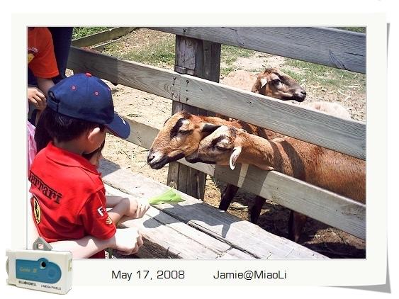 小畬又害怕又興奮地餵羊