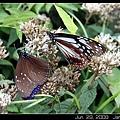 紫斑蝶&青斑蝶食島田氏澤蘭