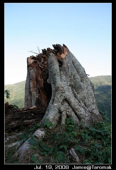 因為颱風斷掉的樹
