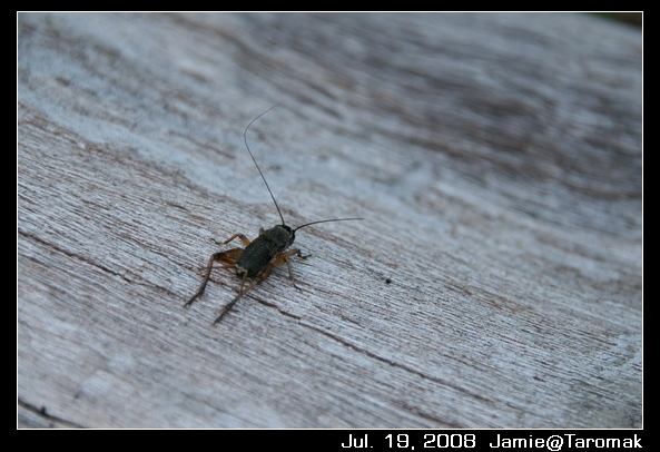 這裡的蟋蟀都很大隻