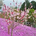 顏色好雜的櫻花