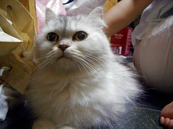 lemon...博文家的貓