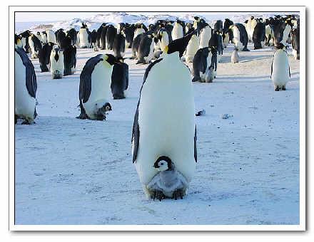 70企鵝照顧幼鳥.jpg