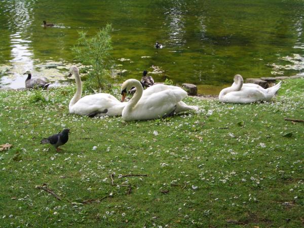 St James's Park內的小湖區,有天鵝及鴨群