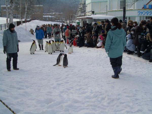 遠遠的看到企鵝群接近